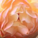 rose〜なんとなく困った顔してるみたいに見えるバラの花