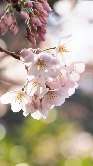 桜が満開で見頃ですにゃぁ。