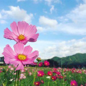 見奈良のコスモスを見に来たよー。夕方には肌寒くなりますなぁ。いい写真が撮れたので満足満足♪#コスモス #コスモス畑 #秋桜 #重信 #クールスモール #青空 #気持ちいい Instagram