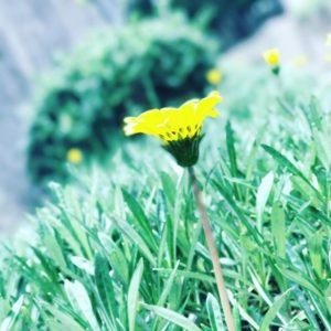 今日もガシガシiPhone7plusのポートレートモードで撮影。何気ない草花もこの通り。なんとまあ、フォトジェニックなwww#iphone7plus #iOS10.1 #ポートレートモード #被写界深度エフェクト #背景ボケ #名もなき草花 #名前を知らないだけ #ドリーミー仕上げ
