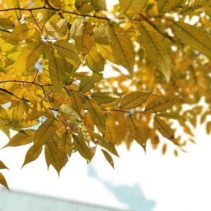 色づきはじめた街中の木々。短い秋の日々。#iphone7plus #被写界深度エフェクト #松山市 #秋 #色づく街路樹