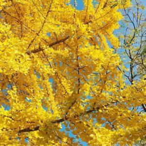 自宅近くの大銀杏。いま、色づき具合が真っ黄っきです。青空によく映えます。でも、1週間もしないうちに丸裸になっちゃうんだろうなぁ。