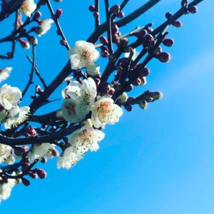 梅ぇは、咲いた。桜はまだまだだろうなぁ。#被写界深度エフェクト #梅 #まだ寒い #もうすぐ春