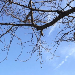 今日もあったかいねぇ。いい青空だ。しかし桜はまだまどつぼみすら見られない様子。春、まだもう少し遠し。