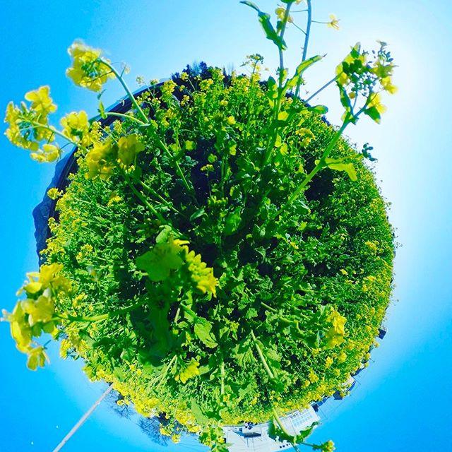 見奈良のクールスモール横の菜の花畑。まだ満開まではもう一息?だけどまずまず、咲いてましたよー。THETAで撮影した全天球パノラマをリトルプラネットに仕上げてみました。