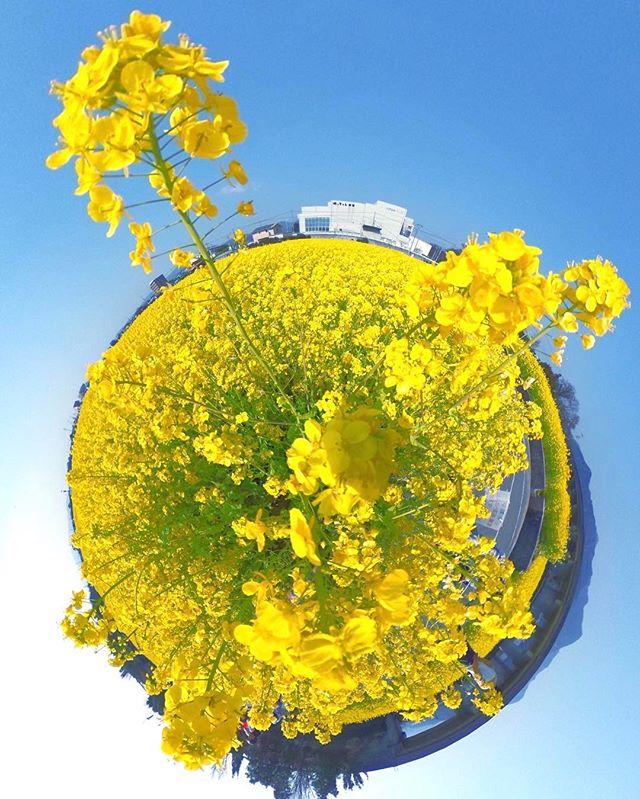 東温市見奈良の菜の花畑、見事に満開っ!THETAで撮影したパノラマ写真をリトルプラネットにしてみまTHETA!
