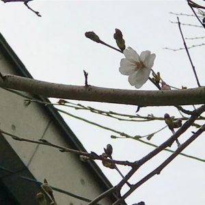咲きました!今年の初ソメイヨシノ。でもまだまだ寒いねぇ。#松山市 #桜 #サクラ #花一輪