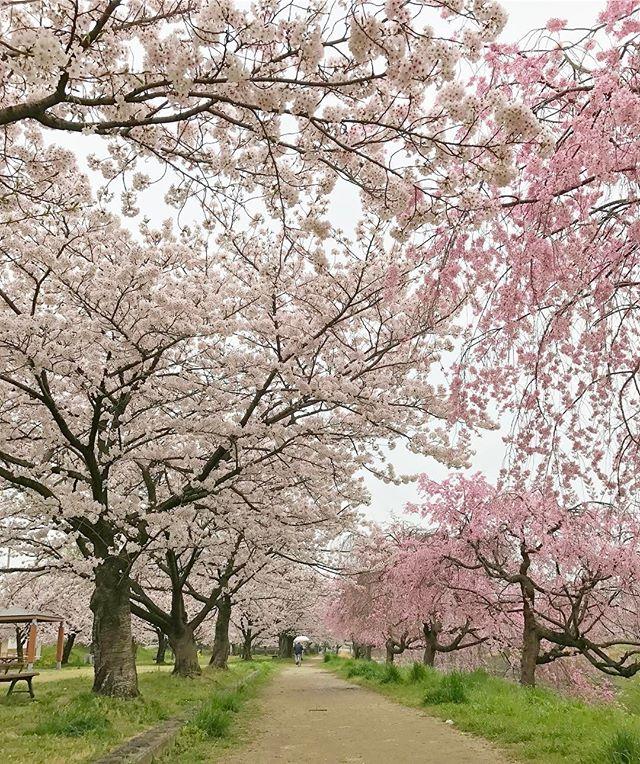 雨だけど、ちょっと家を早めに出て桜の撮影しながら通勤。石手川緑地公園の桜、見事に満開です。週末までキレイに咲いていてほしいな。
