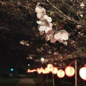 夜桜、提灯、帰り道。
