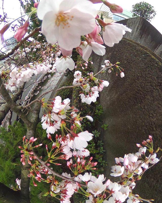 THETAで撮影したパノラマ写真こら切り出した桜の写真。まだまだ5分咲き、ってところかな?来週が楽しみだ♪