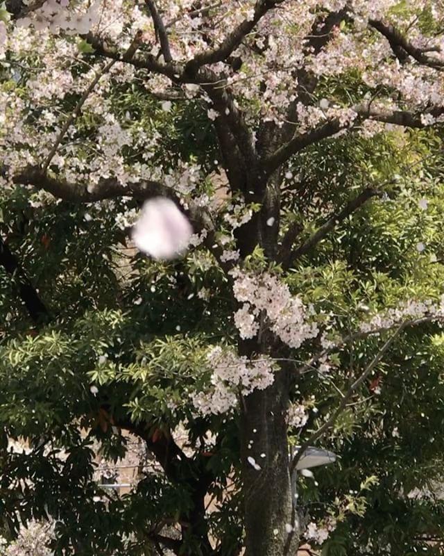 桜吹雪!舞い散る花びら!