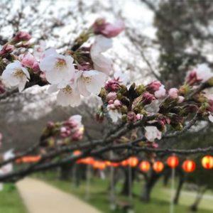 石手川公園はまだ1分咲き。気の早い提灯の下で、早くも花見をしてるグループがいたよwww