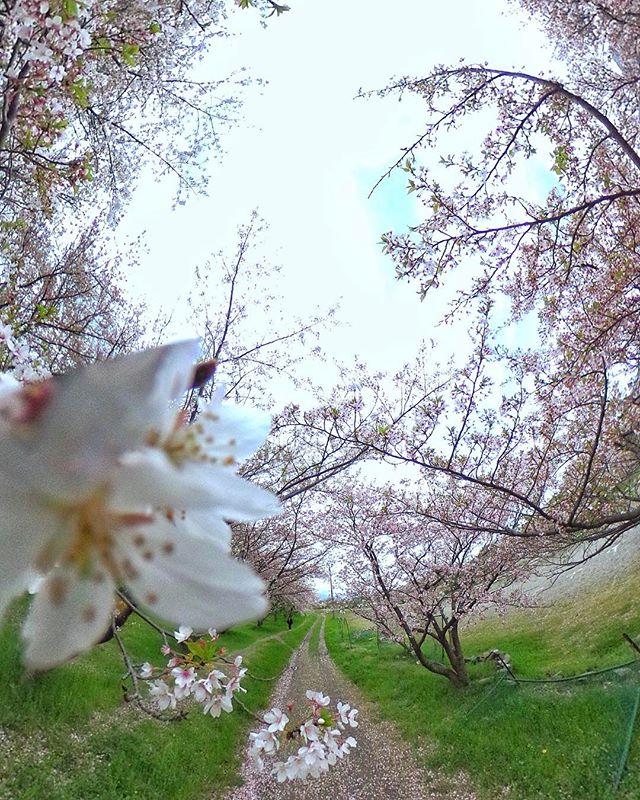 今朝も行ってきた、東温市重信川沿いの公園の桜!