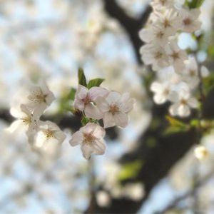 会社近くの公園の桜、1本だけ満開っ!多分、品種が違うんだろうなぁ。でもきれいですな。