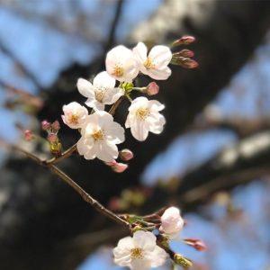 春はやっぱり桜よね!毎年この時期は写真を撮ってアップする枚数が増えるんだよなぁ。