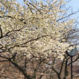すでに満開な桜と、これから満開へ向かう桜。
