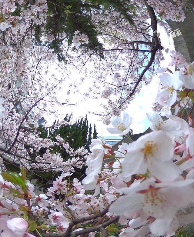 まだまだ咲いてますよ。満開真っ盛り。今週末も愛でられそうで何よりです。