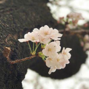 今日は残念ながらの雨模様な空(まだ降ってない)。昨日の桜写真でもアップしまする。松山は満開までもう一息、だな。