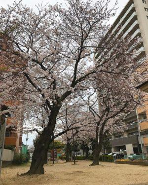 まだ降ってないので、降り出す前の桜の写真。雨降っても、まだ散るなよ〜♪