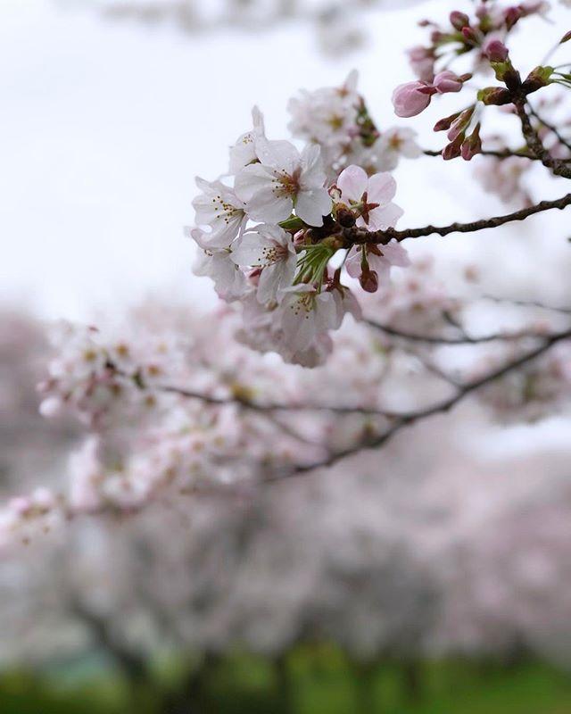 朝から雨だけど早起き-!朝なら誰もおらんから桜が咲いてる公園でドローン飛ばせる!と思ったら、カメラマンさんがおったー!かんがえことは一緒やねー。そして雨が本降りになったので撤収!#iphone7plus #桜 #ポートレートモード #東温市 #重信川 #桜のトンネル
