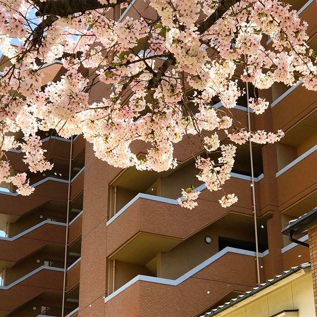 桜、ひらひら。舞い降りる桜を愛でつつ、部門メンバーでお花見ランチ会でした。青空の下、のんびりしたお昼のひとときを過ごせました。今年一年、このメンバーでがんばりましょー!