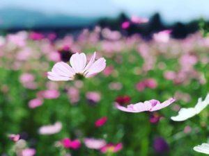 朝からドローン飛ばして遊んだ後は、ちょっと足を伸ばして見奈良のコスモス畑へ。いい感じに咲いてます。今年はコスモス畑が少し狭くなった様子で、ちょっと残念なり。