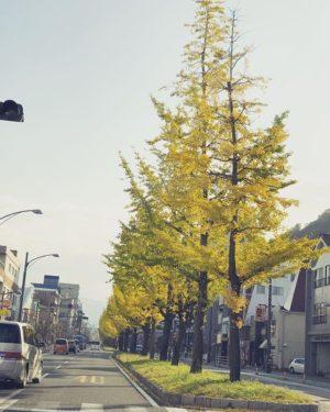 松山市平和通りの銀杏並木。朝陽に照らされて輝く姿も、残り僅か、かな。#イチョウ並木 #銀杏並木 #松山市 #平和通り #朝陽