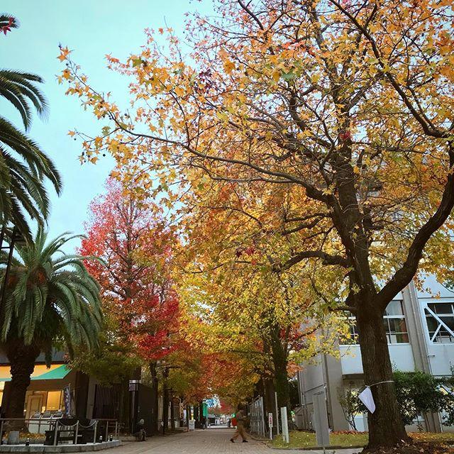 愛媛大学の紅葉通り。もうすぐライトアップされるらしい。