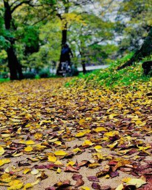 今朝の石手川公園。落ち葉だらけの遊歩道。#石手川公園 #落ち葉 #遊歩道 #松山市 #秋 #コントラスト上げてみた