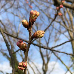 ちょっと用事で東温市へ。重信川沿いの公園の桜並木、まだほとんどが蕾が膨らんでいないのに、数本の木はしっかり膨らみつつある様子。咲くのが楽しみです。