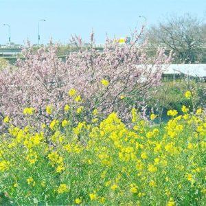 愛車の車窓から。菜の花、梅、青空。春だなぁ…。Fleur de viol, prune, ciel bleu.