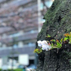 せっかく開花したというのに、雨に打たれる桜。まだまだ1分咲き、見頃は来週ぐらいかな?#桜 #サクラ #松山市 #ソメイヨシノ #雨