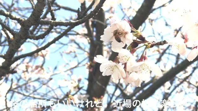 天気も良い日曜の昼下がり、ぷらっと石手川公園へ桜を見てきました。そして、スマホ動画の練習。なんか官公庁のスポット紹介ぽくなるのは何でだwwww#桜 #松山市 #石手川公園 #動画 #動活 #スマホ動画 #スマホで動画編集