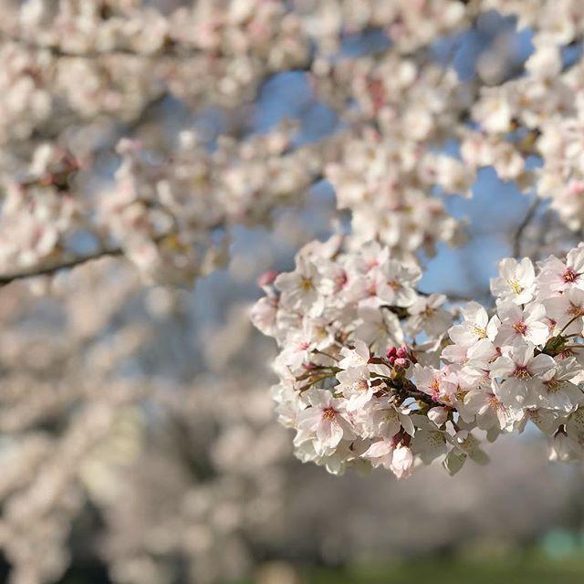 今朝(2018/03/28)の石手川公園の桜。いい天気が続くので、きれいな桜が毎日楽しめてうれしいねぇ。#石手川公園 #桜 #松山市 #ソメイヨシノ