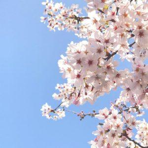 桜、満開。#桜 #満開 #青空 #松山市 #iphone7plus の #本気