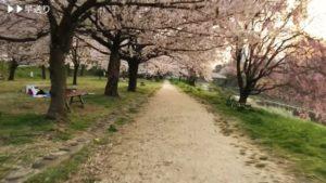 夕闇迫る石手川公園の桜並木をチャリで走ってみた、の動画。立花橋の東側の北岸、南岸、そして永木橋の東側。見どころいっぱいで楽しいですなぁ。
