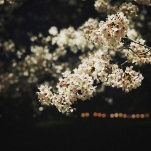 別の場所の夜桜。遠くに見える花見提灯の列は、騒がしすぎてあまり好きじゃないのよね。