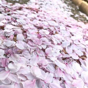 散りゆく桜。舞い落ち積もった花びらの佇まいさえ美しい。#桜 #花びら #松山市