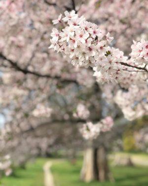 石手川公園の桜。もうすぐ散ってしまうのね…今年は長く楽しめたなぁ。#桜 #松山市 #石手川公園 #満開 #iphone7plus #ポートレートモード