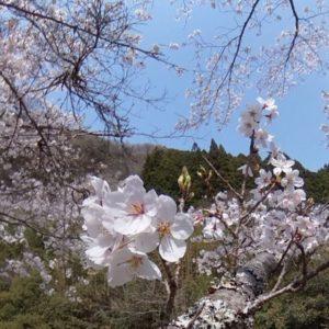 桜、山、谷、小川のせせらぎ。時間を忘れてのんびりしたひととき。気持ちの良い日曜の昼下がり。#松山市 #桜 #小川 #せせらぎ #THETA #パノラマ