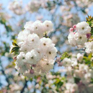 牡丹桜?かな。よく咲いてます。