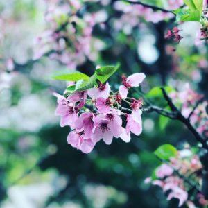 雨と風ですっかり散ってしまいました。今年の桜よ、楽しませてくれてありがとう。#桜 #松山市 #雨 #風が強い #舞い落ちる花びら