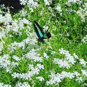 この蝶、なんて名前だったっけ?なかなかキレイな羽をしている。