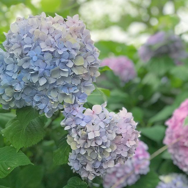 石手川緑地公園のあじさい。大きく咲いてます。うん、キレイだ。#iPhone7plus #ポートレートモード #あじさい #紫陽花 #梅雨