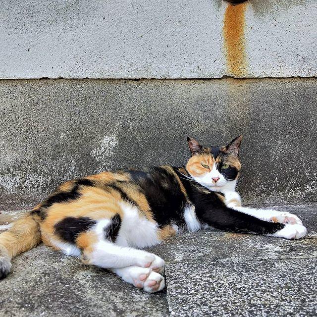 今日のネコ。だらけ過ぎだけど、コッチ見んなと警戒心は緩めない三毛。#oppo#r11s#スマホ写真部