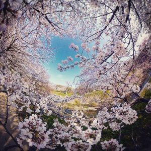 全天球パノラマな桜の写真もアーティスティックにwww#バエアート