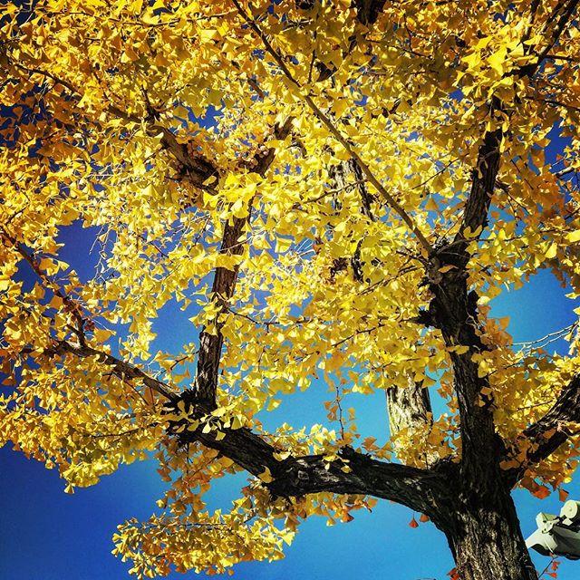 とあるイチョウ並木のイチョウの木。すっかり色付いて、そして散ってます。青空に映えますねぇ。