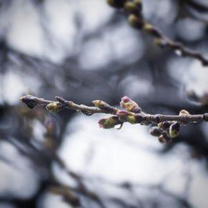 雨です。雨でございます。桜はまだ咲きませんね。雨と寒さで一休み、でしょうか。
