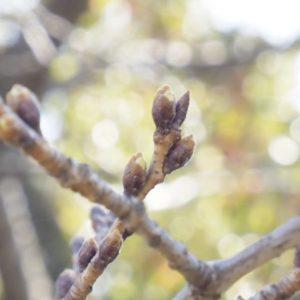 コミセンの桜。ようやくほころび始めたつぼみがちらほら。開花予想の来週まで、目が離せませんよー。
