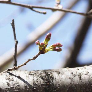 もうすぐ〜桜の開花、もうすぐよ〜♪